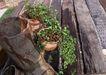 花草分类0243,花草分类,园林,盆景 自然 生长