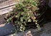花草分类0244,花草分类,园林,墙边 生长 花草