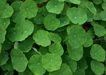 花草分类0245,花草分类,园林,无数 荷叶 绿绒绒
