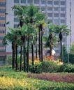 园林绿化0123,园林绿化,园林,棕树 绿油油 工作地点 公司外 绿化