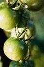 园林种植0141,园林种植,园林,果实   番茄   柿子
