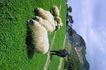 苏格兰风情0073,苏格兰风情,世界风光,绵羊 吃草 低头