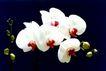 中国民间风情0180,中国民间风情,世界风光,蝴蝶状白花瓣 鲜红花蕊 圆粒果实