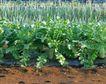 新鲜蔬菜0046,新鲜蔬菜,农业,黄土 泥巴 大蒜