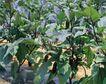 新鲜蔬菜0050,新鲜蔬菜,农业,