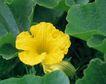 新鲜蔬菜0063,新鲜蔬菜,农业,瓜藤 黄色 花朵