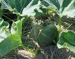 新鲜蔬菜0064,新鲜蔬菜,农业,叶藤 匍匐 地面