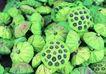 新鲜蔬菜0069,新鲜蔬菜,农业,莲蓬 堆放 摘下