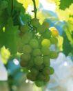 新鲜蔬菜0070,新鲜蔬菜,农业,青涩 葡萄 果枝