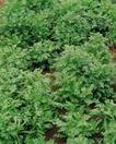 新鲜蔬菜0079,新鲜蔬菜,农业,芹菜 茂盛 长势