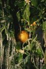 新鲜蔬菜0087,新鲜蔬菜,农业,树木 果树 新鲜