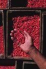 新鲜蔬菜0093,新鲜蔬菜,农业,红色 辣椒 丰收