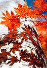 中国风情0288,中国风情,中国图片,枫叶特写 投影 蓝天背景
