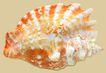 贝壳0038,贝壳,石头贝壳,