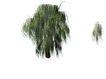 柳树0001,柳树,植物,