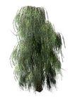 柳树0004,柳树,植物,