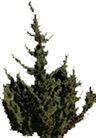 松柏0034,松柏,植物,