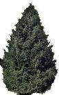 松柏0035,松柏,植物,