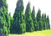 松柏0071,松柏,植物,