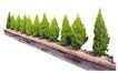 松柏0080,松柏,植物,
