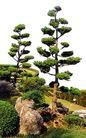 松柏0086,松柏,植物,