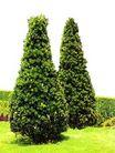 松柏0087,松柏,植物,