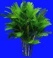葵0025,葵,植物,