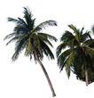 棕榈及椰树0001,棕榈及椰树,植物,