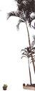 棕榈及椰树0013,棕榈及椰树,植物,