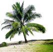 棕榈及椰树
