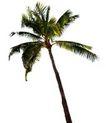 棕榈及椰树0019,棕榈及椰树,植物,