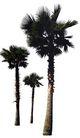 棕榈及椰树0021,棕榈及椰树,植物,