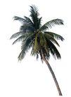 棕榈及椰树0024,棕榈及椰树,植物,