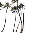 棕榈及椰树0028,棕榈及椰树,植物,