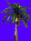 棕榈及椰树0032,棕榈及椰树,植物,
