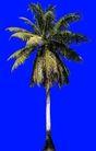 棕榈及椰树0039,棕榈及椰树,植物,