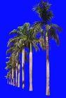 棕榈及椰树0048,棕榈及椰树,植物,