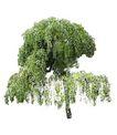 四季阔叶树0219,四季阔叶树,植物,