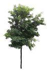 四季阔叶树0228,四季阔叶树,植物,