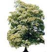 四季阔叶树0231,四季阔叶树,植物,