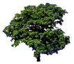 四季阔叶树0239,四季阔叶树,植物,