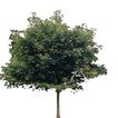 四季阔叶树0269,四季阔叶树,植物,