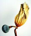 藕、唐棉0032,藕、唐棉,休闲生活,叶梗 荷叶 果子