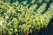 葡萄酒0005,葡萄酒,休闲生活,果园 葡萄藤 架子