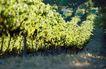 葡萄酒0009,葡萄酒,休闲生活,果树 缓坡 俯视