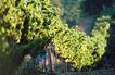 葡萄酒0010,葡萄酒,休闲生活,果棚 圆弧 环带
