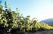 葡萄酒0012,葡萄酒,休闲生活,蓝天 辉映 阳光