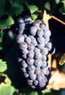 葡萄酒0041,葡萄酒,休闲生活,挂果