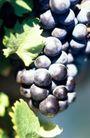 葡萄酒0042,葡萄酒,休闲生活,果实