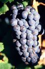 葡萄酒0043,葡萄酒,休闲生活,葡萄串